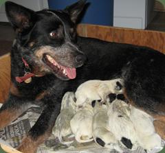 seven pups